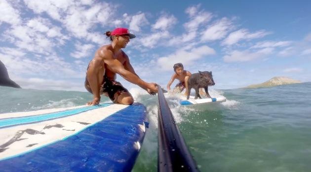 The Surfing Piglet